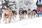 Raza de perros de trineo — Foto de Stock