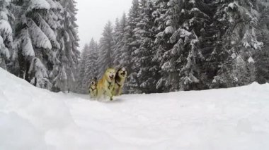 Slow motion of running husky dogs — Stock Video