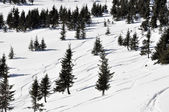 Ski tracks in the fresh powder snow and fir trees — Stock Photo