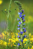 Blue meadow flower at spring — Stock Photo