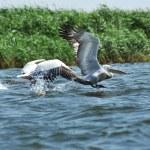 White pelican in flight, Danube Delta, Romania — Stock Photo #72754459