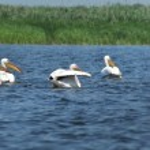 White pelican in Danube Delta, Romania — Stock Photo #72754503