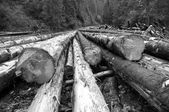 Freshly cut tree trunks near a forest road — Stock Photo