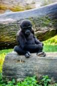 Young gorilla monkey — Stock Photo