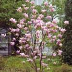 Blooming magnolia tree. — Stock Photo #72580155