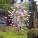 Blooming magnolia tree. — Stock Photo #72580269