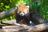 Portrait of a cute Red Panda — Stock Photo
