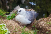 Kittiwake on a nest with two eggs — Stock Photo