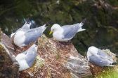 Kittiwakes on the nests — Stock Photo