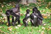 Geoffroys Spider Monkey. Ateles geoffroyi — Stock Photo