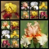Bearded iris flowers — Stock Photo