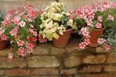 Flowers in pots on low brick wall — Stockfoto