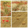 Poppies in tuscan countryside — Stock fotografie #68115531
