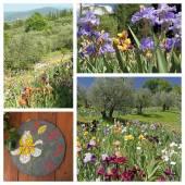 Garden cultivating iris flowers — Stock Photo