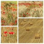 Poppies in tuscan countryside — Stock Photo