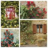 Colorful flowering climbing roses — Stock Photo