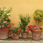 ������, ������: Plants in ceramic pots