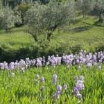 Flowering blue irises — Stock Photo #80682998