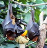 Flying foxes — Stock Photo