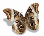 Farfalla marrone — Foto Stock