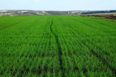 Green field of winter grain continuing to horizon with blue sky — Stockfoto