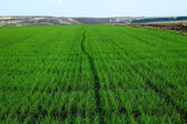 Green field of winter grain continuing to horizon with blue sky — Stock Photo