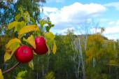 Red ripe wild apples on the branches of background autumn trees and blue sky — Stock Photo