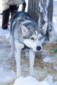Husky dog used in sled on leash — Stock Photo