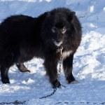 Black dog on snow background — Stock Photo #65040083