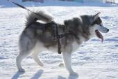 Husky dog used in sled on leash — Foto de Stock