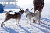 2 匹の犬のシベリアン ハスキー — ストック写真