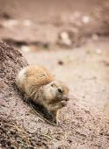 Black-tailed prairie dog (Cynomys ludovicianus) — Photo