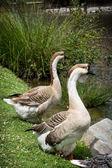 Pair of Swan geese — Stock Photo