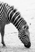 Foto en blanco y negro de zebra — Foto de Stock