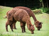 Alpaca (Vicugna pacos) — Stock Photo