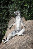 Ring-tailed lemur (Lemur catta) is heated — Stock Photo