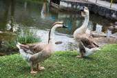 Pair of Swan geese near the lake — Stock Photo