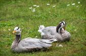 The Bar-headed goose (Anser indicus) — Stock Photo