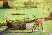 Fallow deer is grazing on the clearing in the woods — Stock Photo