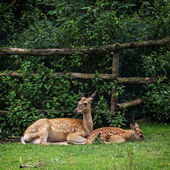 The fallow deer - cub with mother — Stock Photo