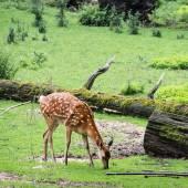 One Fallow deer is grazing — Стоковое фото
