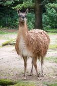 One Guanako (Lama guanicoe) — Стоковое фото