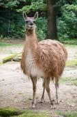 One Guanako (Lama guanicoe) — 图库照片