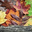 Colorful autumn leaves and tree bark — Stock Photo #56036135