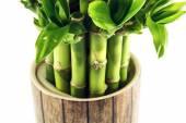 Lucky bamboo plant — Stock Photo