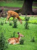 Two Fallow deers are resting and grazing — Photo