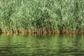 Beautiful green reeds on the lake shore — 图库照片