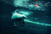 Bottlenose dolphin with red ball — Stock Photo