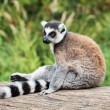 Ring-tailed lemur sitting on the tree stump — Foto de Stock   #57510015