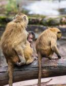 Guinea baboon family on the branch — Stock Photo